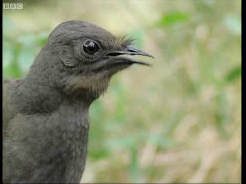 Attenborough: the amazing Lyre Bird sings like a chainsaw! - BBC Earth