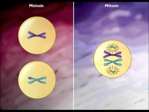Difference between mitosis ans meiosis - YouTube